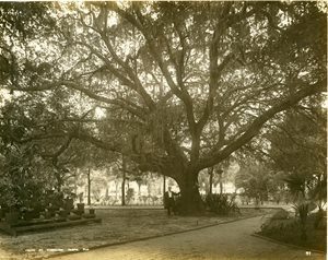 historic photo of large oat tree, man standing next to tree is very small for scale